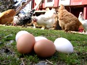 Bilde av Eventyrsmak Økologiske egg - 30 stk. Brett.