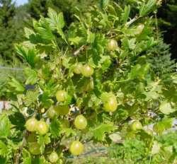 Prøv også Bærgården Østre Enger Økologisk Stikkelsbær.