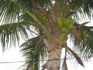 Bilde av Kokosnøttmelk.