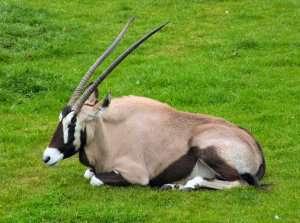 Prøv også Antilope rå.