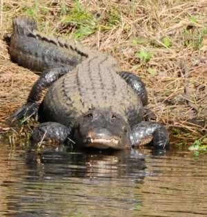 Prøv også Krokodille, alligator.