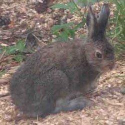 Bilde av Hare, rå.