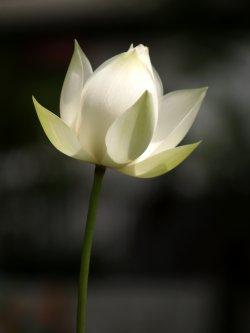Bilde av Lotusrot.
