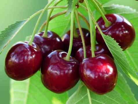 Bilde av Kirsebær, rå.