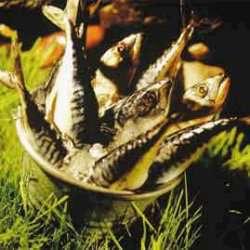 Prøv også Rømmesurret makrell.