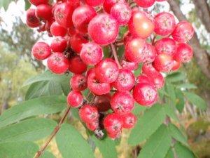 Prøv også Rognebærgelé med eple.