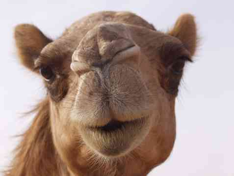 Bilde av Fylt kamel.
